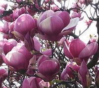 Магнолия Суланжа Розовая 4год