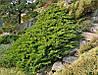 Можжевельник казацкий Tamariscifolia С3, фото 2
