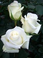 Саженцы Роза Anastasia