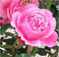 Саженцы Роза Eve