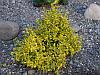 Бересклет Форчуна Emerald Gold P9, фото 2