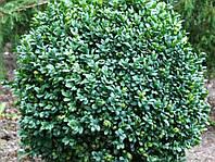 Самшит вечнозеленый C3