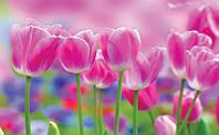Фотообои бумажные на стену 368х254 см : Радужные тюльпаны (273P8CN), фото 1