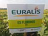 Семена подсолнечника ЕС Флоримис КЛ