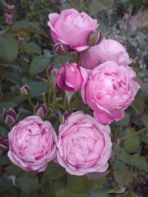 Роза Дитер Мюллер Шраб, фото 2