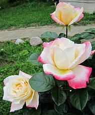 Роза Летиция Каста (Laetitia Casta) Ч/Г, фото 3