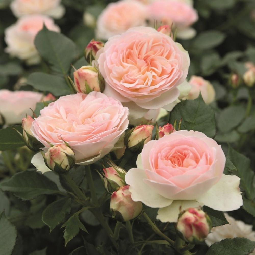 Роза Пастелла  Флорибунда
