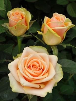 Роза Пич Аваланж (Peach Avalanche) Ч/Г
