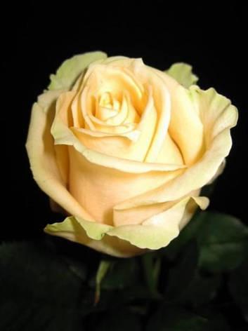 Роза Пич Аваланж (Peach Avalanche) Ч/Г, фото 2