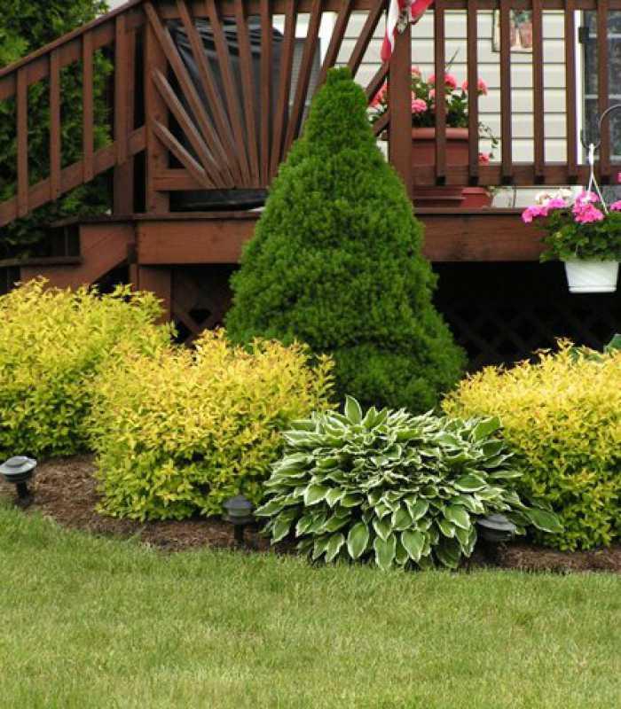 Picea glauca 'Conica' Ялина канадська 'Коніка',C5,20-40см - Розсадник 'Зелені Янголи'. Рослини з душею. в Ужгороде