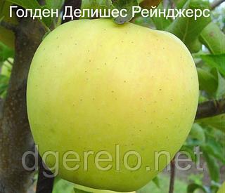 "Яблоня ""ГОЛДЕН ДЕЛИШЕС РЕЙНДЖЕРС"" (зимний)"