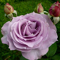 Роза Нил Блу