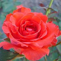 Роза Анжелик