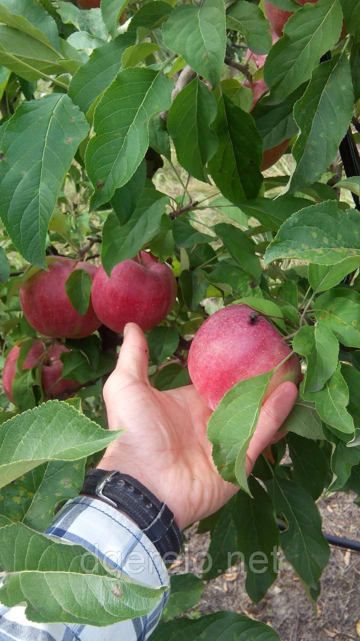Яблуня Фуджі Кіку 8 - зимовий сорт