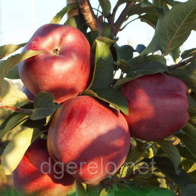 Саджанці яблуні зимового - Ред Чіф
