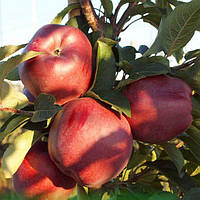 Саженцы яблони зимней- Ред Чиф