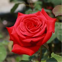 Роза Кардинал