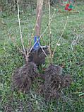 Саженцы смородины Черный бумер (1 клас), фото 3