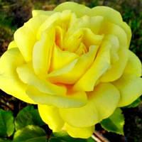 Роза Старлайт