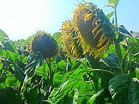 Семена подсолнечника ИМИСАН (Clearfield®)