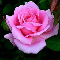 Роза Графиня Беттина
