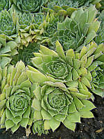 Молодило (каменная роза) зелёно-салатовая