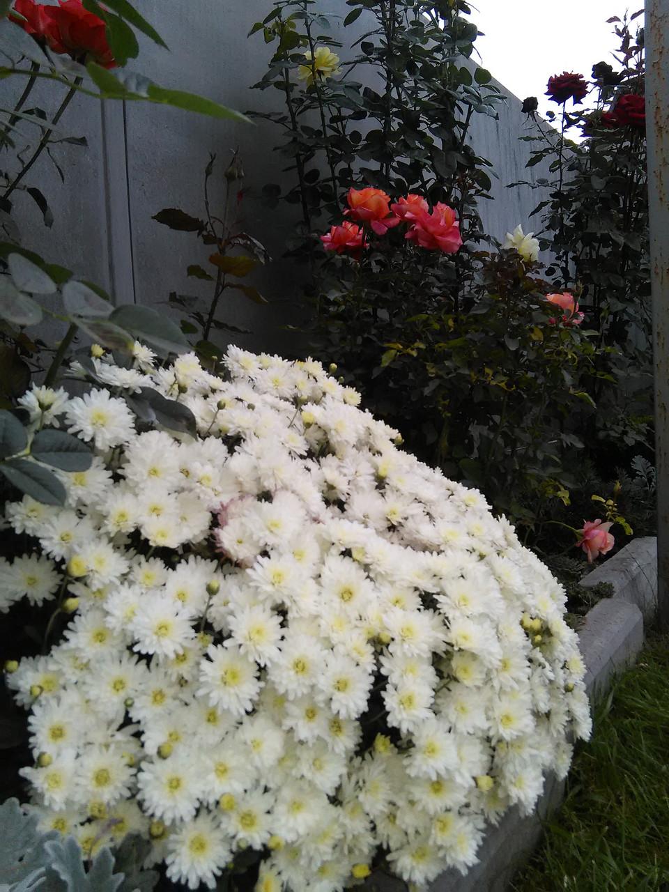 Хризантема шаровидная белая
