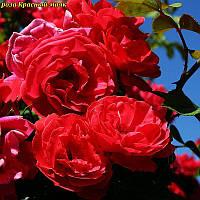 Роза Красный маяк
