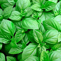 Семена базилика зеленый Геновезе, 0,5кг