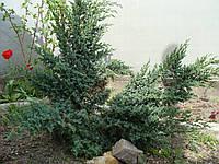 Можжевельник блю альпс, фото 1