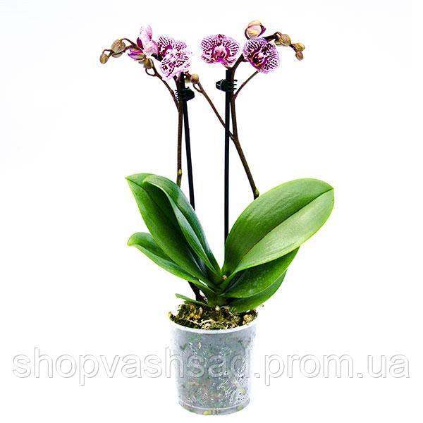 Ваш cад Орхидея фаленопсис миди - Ваш сад в Одессе