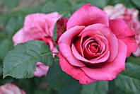 Саженцы Роза Amalia
