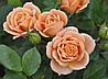 Саженцы Роза Спрей Clementine