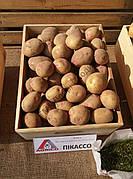 Картопля Пікассо 1кг (1 РП) (Агріко) ТМ Добрі Сходи