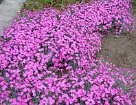 Гвоздика почвопокровная, фото 1