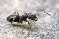 Lasius alienus бледный садовый муравей, полевой муравей (11 муравьев)