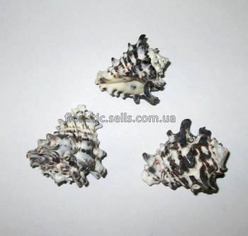 Ракушка Ежик 5-6 см