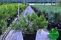 """Можжевельник китайский """"Куривао Голд"""" - Juniperus chinensis """"Kuriwao Gold"""""""