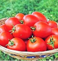 Намиб F1 - семена томата, Syngenta