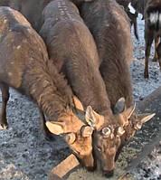 Пятнистый олень, Олень Бемби