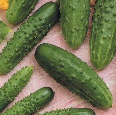 Пасамонте F1 - семена огурца, Syngenta