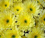 Хризантема  веточная РАДОСТЬ ЛИМОН, фото 2
