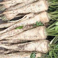 Семена пастернака Белая жемчужина Аgri Saaten от 100 г