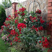 Роза плетистая Пол Скарлет