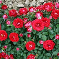 Роза бордюрная Мейди