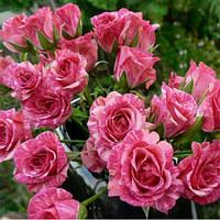 Роза бордюрная Пинк Флеш