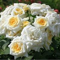 Роза бордюрная Хонеймилк