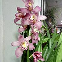 Горшечное растение Орхидея Цимбидиум