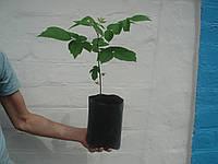Черный орех саженцы, сеянцы, рассада (родственник грецкого), саджанці чорного горіха