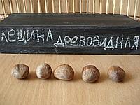 Лещина древовидная семена, медвежий орех(подвой для саженцев фундука), медвежий горіх, ліщіна
